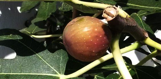 Papaya-Baum mit kleiner Frucht
