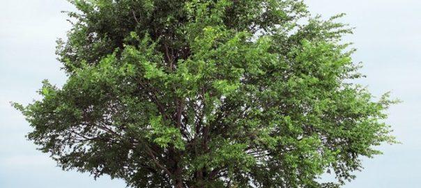 Ulmenrinde beruhigt den Magen bei Tier und Mensch